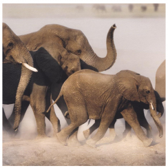 African Elephant Family Card