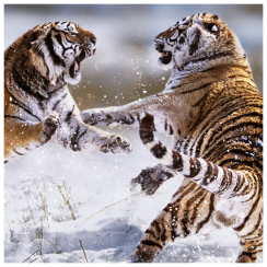 Siberian Tigers Fighting Card